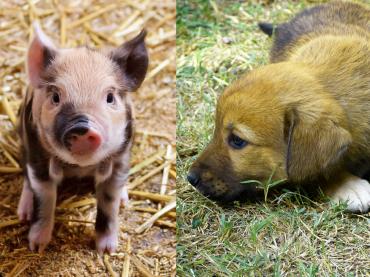 Warum wir Hunde lieben, Schweine essen und Kühe anziehen