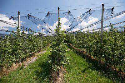 Apfelplantagen - Schenna Resort (c) Corinna Stabrawa