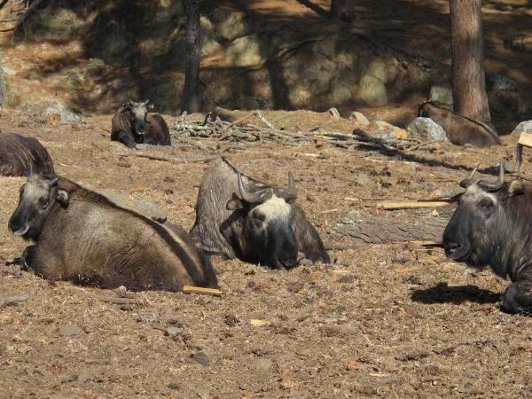 Das Nationaltier Takin wurde auch vom Narren erschaffen. Foto: Doris