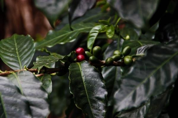 Kaffee aus Panama. Foto: Roxy