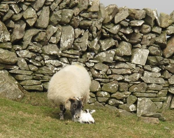 Ein neugeborenes Lamm am Wegesrand. Foto: Doris