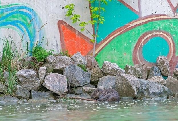 Neulich am Donaukanal: Biber haben fast alle Reviere der Großstadt besiedelt, Foto © Wiener Wildnis / Popp-Hackner