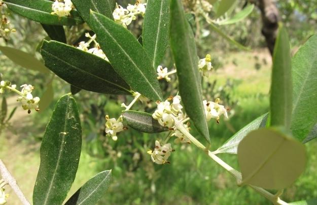 Alle Olivensorten schauen anders aus. Foto: Doris