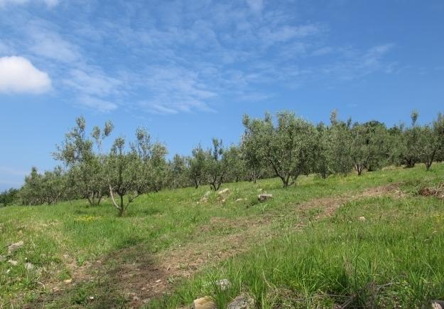 Vor dreißig Jahren hat der Ingenieur begonnen, sich mit Oliven zu beschäftigen. Foto: Doris