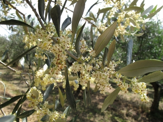 Auch essbare Oliven hat Vanja anzubieten. Foto: Doris